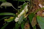Una pareja de Agalychnis lemur en amplexo colocando huevos en la vegetación que cuelga sobre los estañones de reproducción.