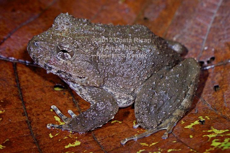 Strabomantis bufoniformis