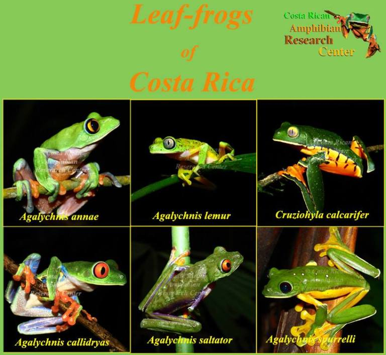Leaf frogs